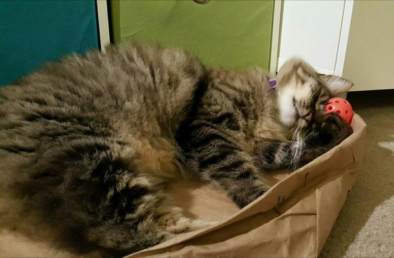 Maine Coon Cat Rescue Bay Area