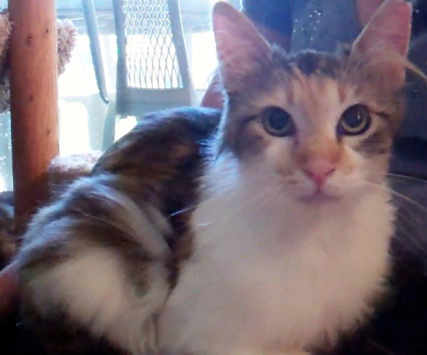 kitten rescue shelton wa